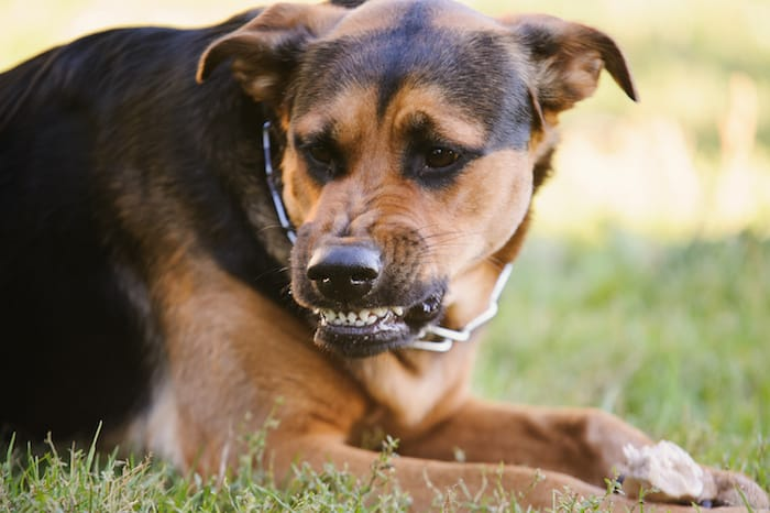 An angry dog signals his aggression with bared teeth