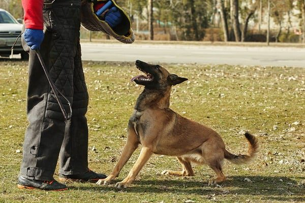 A trainer works with a police dog in a field