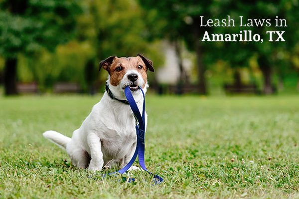 A dog is holding his leash in the middle of a grassy park, with the words, leash laws in Amarillo, Texas.