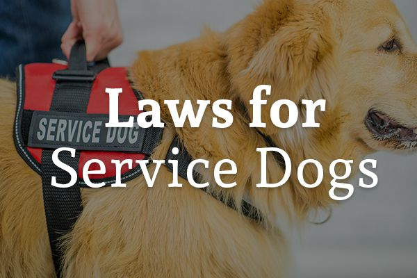 A service dog is guiding his master with the words, laws for service dogs.