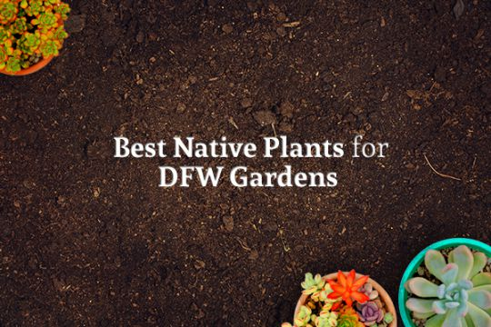 "Three potted flowers sit on a bed of dirt and the words ""Best Native Plants for DFW Gardens"" is written"